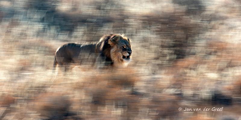 Lion_GDT-copyright-Jan-vand-er-Greef