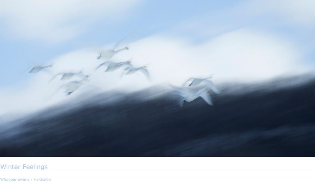 Winter-feelings-Whooper-swans-Hokkaido