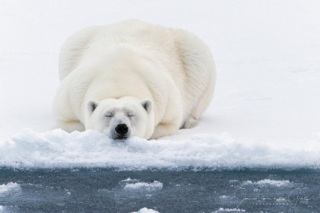 1 Polar-bear-1