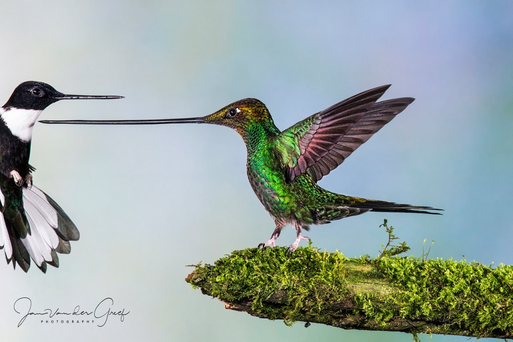 1 Sword-billed Hummingbird