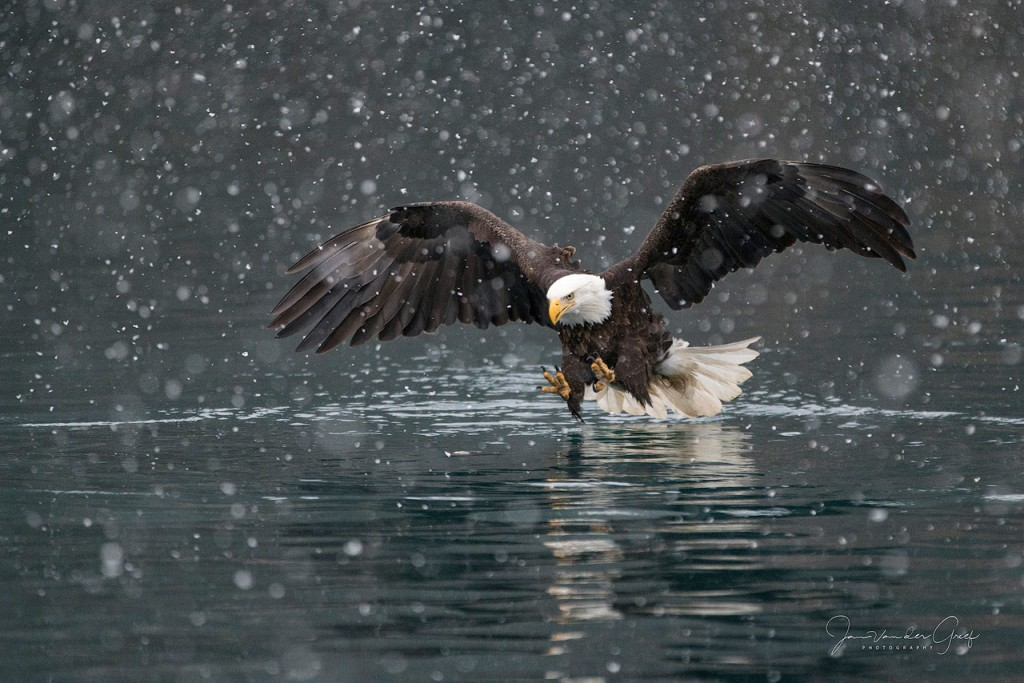 10-Bald-eagle-snow