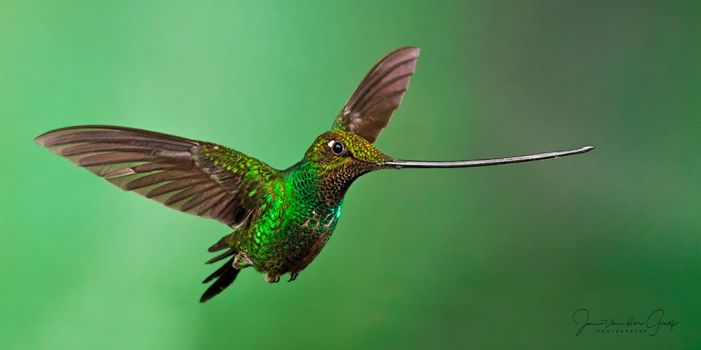 3 Sword-billed-Hummingbird-2