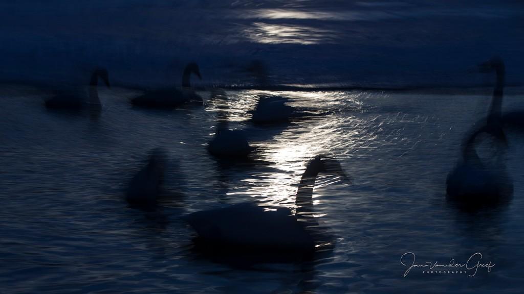 3 Whooper-swans-2