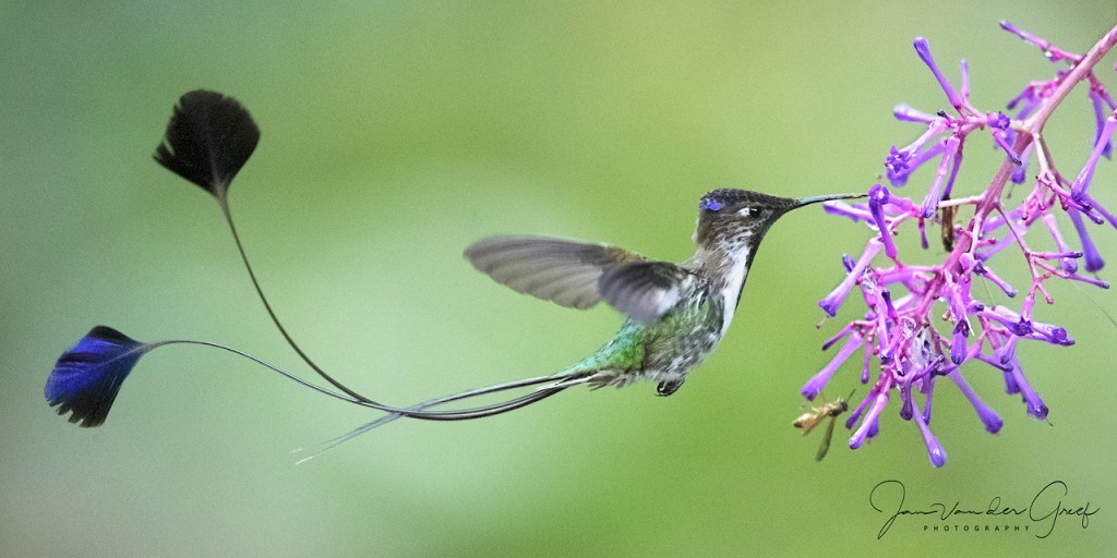 5 Marvelous-spatuletail