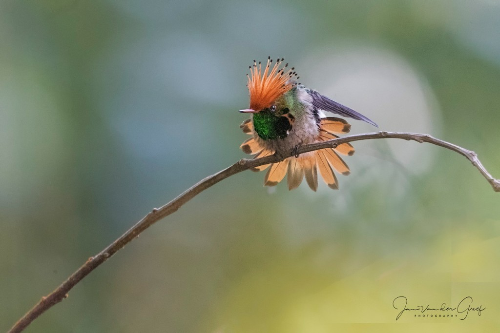 6 Crested-frille-coquette