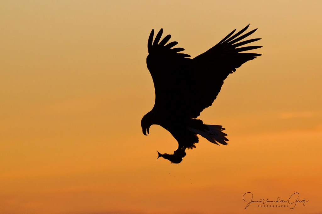 7-White-tailed-eagle-silhouettejpg