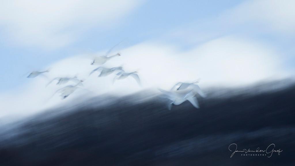 7 Whooper-swans