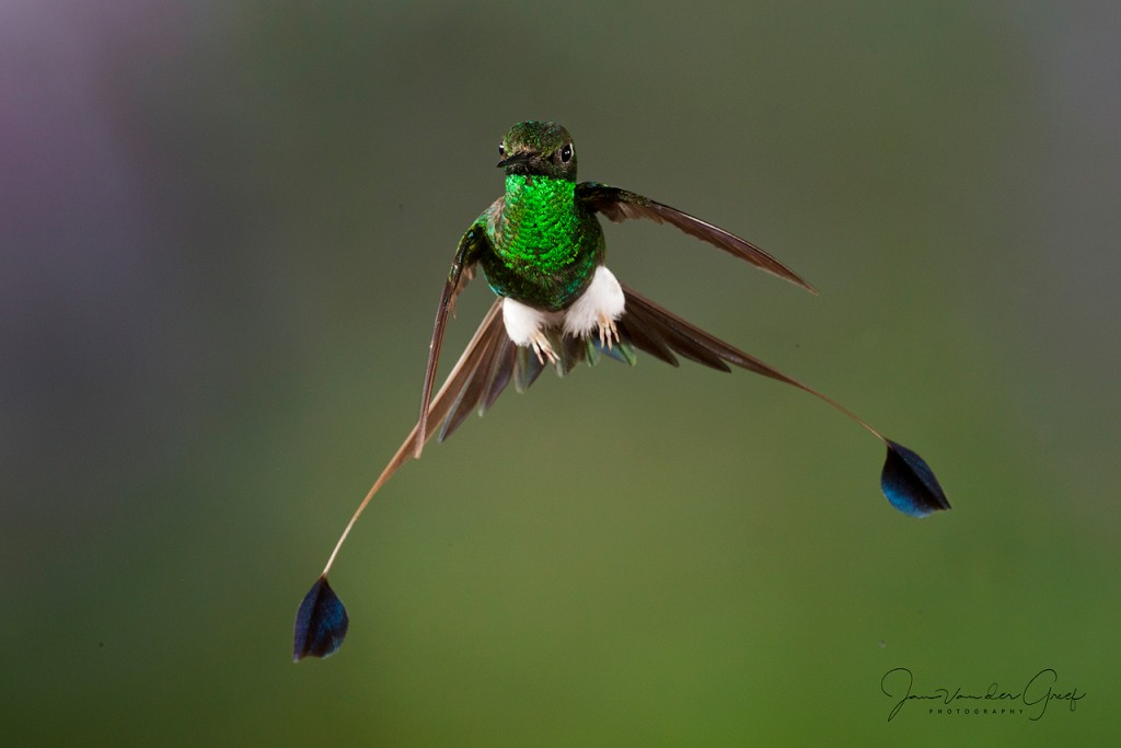 8 Booted-racket-tail-wide-tail