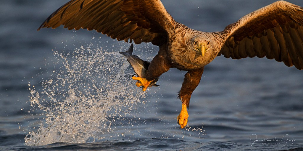 8-White-tailed-eagle-catch