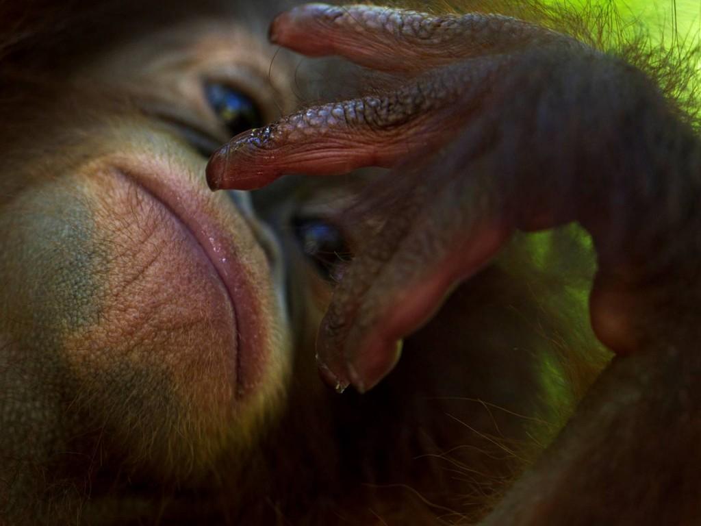 orangutan, copyrights by Jan van der Greef, all rights reserved