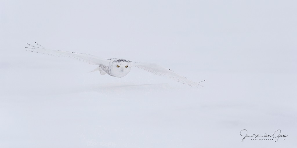 Snowy-owl-1