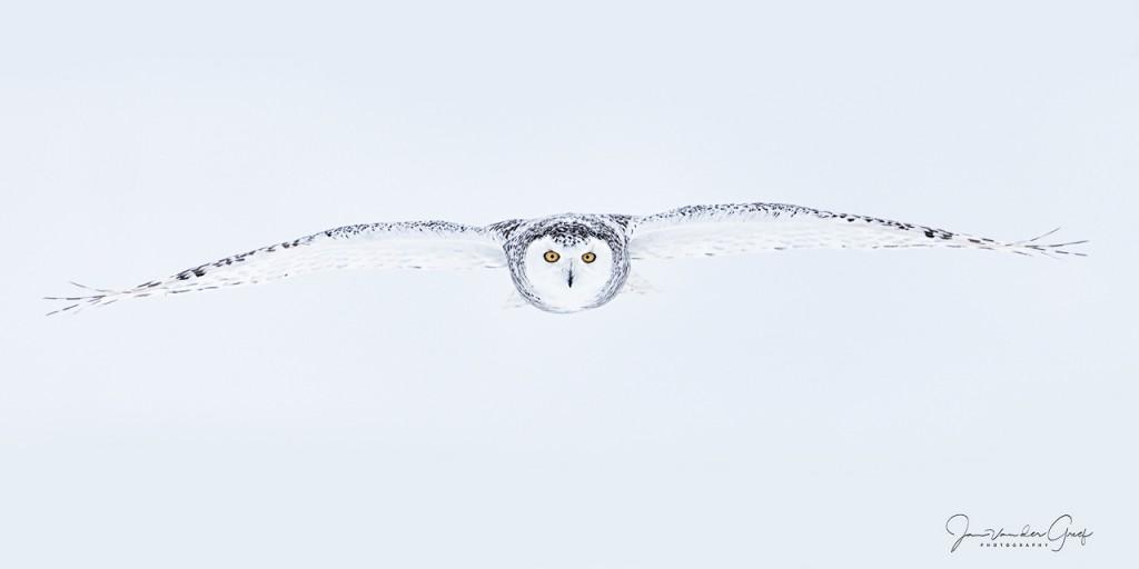 Snowy-owl-4