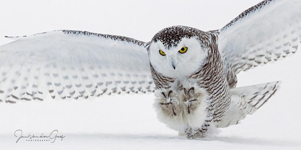 Snowy-owl-6