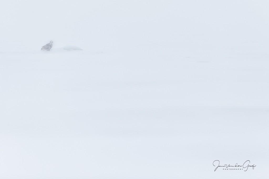 Snowy-owl-9